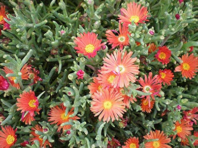 50 Seeds Red Flowering Succulent - Coppery Ice Plant - Malephora crocea #Succulent