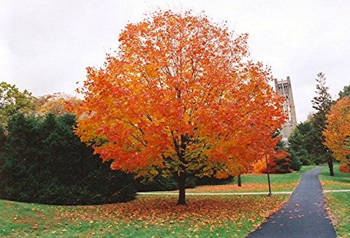 10 Seeds Acer Saccharum (Sugar Maple) Maple Sugar Tree