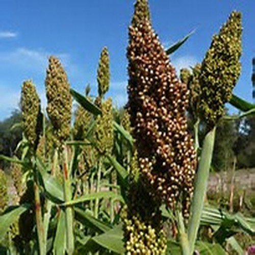 Organic Rox Orange Syrup Cane Sorghum Plant 200 Seeds #Vegetable
