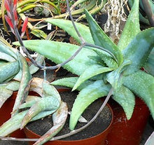 Load image into Gallery viewer, Aloe omavandae Anthill Aloe Plant 10 Seeds #Aloe