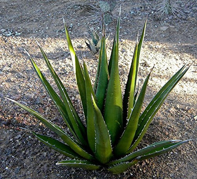 10 Seeds Agave triangularis Ornamental Plant #Agave