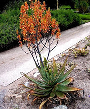 Load image into Gallery viewer, Aloe fosteri Large Spotted Aloe Plant 10 Seeds #Aloe