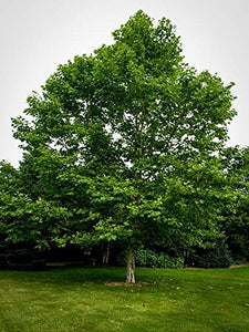 15 Seeds American Sycamore Tree  (Platanus occidentalis) #Tree
