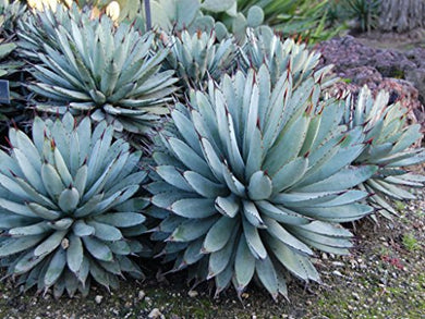 10 Seeds Agave macroacantha Black-Spined Agave Plant #Agave
