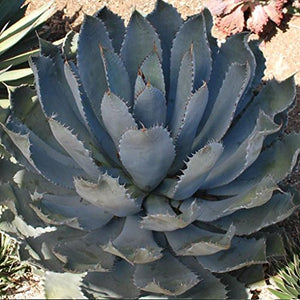 10 Seeds Agave guadalajarana Maguey Chato Ornamental Plant #Agave