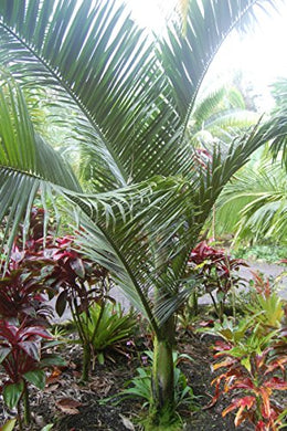 10 Seeds Dypsis Malcomberi Malcomber's Palm #Ornamental