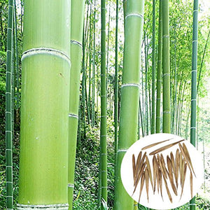50 Seeds Phyllostachys Edulis 'Jaquith' Moso Bamboo Plant #Ornamental