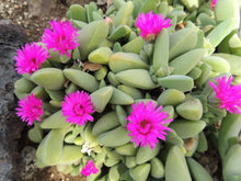 Load image into Gallery viewer, Cheiridopsis purpurea Pink Flowering Succulent 100 Seeds #Succulent