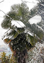 Load image into Gallery viewer, Trachycarpus takil Kumaon Palm 12 Seeds #House Plant