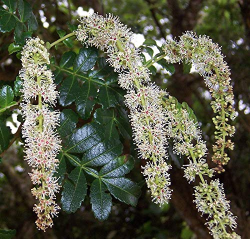 50 Seeds Encenillo Tree - Weinmannia tomentosa #Ornamental
