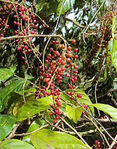 Antidesma montanum - Mountain Currant Fruit Tree 10 Seeds #Fruit