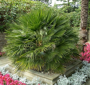 Chamaerops Humilis Mediterranean Fan Palm (SEEDS) #Ornamental