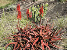 Load image into Gallery viewer, Aloe cameronii Red Aloe Air Purification Plant 25 Seeds #Succulent