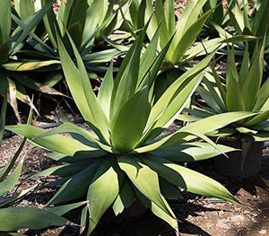 10 Seeds Agave sp. (chazaroi) Ornamental Plant #Agave