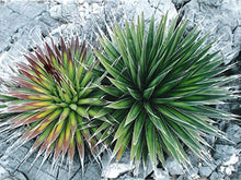 Load image into Gallery viewer, 10 Seeds Agave pelona Mescal Pelón Ornamental Plant #Agave