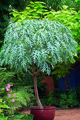 10 Seeds Cussonia paniculata Mountain Cabbage Tree #Ornamental