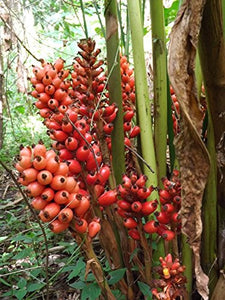 Renealmia alpinia Tasty Ginger Plant 25 Seeds #Ornamental