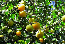 Load image into Gallery viewer, Dovyalis caffra Kei Apple Fruit Tree (SEEDS) #Fruit