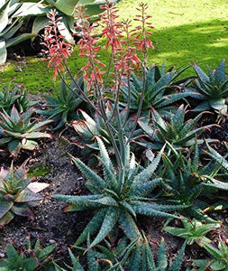10 Seeds Aloe grandidentata Air Purification Plant #Aloe