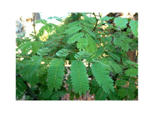 Load image into Gallery viewer, Acacia galpinii Monkey Thorn Tree (SEEDS) #Ornamental