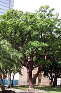 Bursera simaruba Gumbo-Limbo Copperwood Tree 25 Seeds #Tree