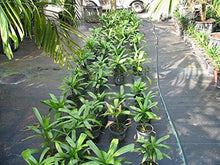 Load image into Gallery viewer, Licuala spinosa Mangrove Fan Palm 15 Seeds #House Plant