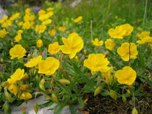 Load image into Gallery viewer, Helianthemum canariense Canary Rock Rose Plant 100 Seeds #Ornamental