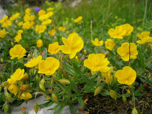 Helianthemum canariense Canary Rock Rose Plant 100 Seeds #Ornamental