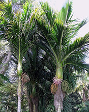 Load image into Gallery viewer, 10 Seeds Rhopalostylis sapida Auckland Nikau Palm #Ornamental