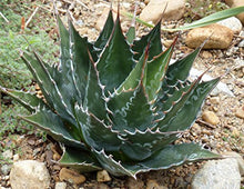 Load image into Gallery viewer, 10 Seeds Agave montana Hardy Century Plant #Agave