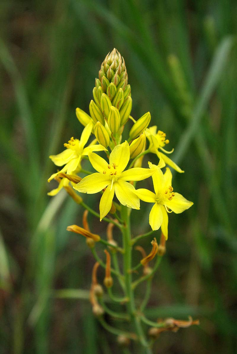 50 Seeds Yellow Flowering Succulent - Bulbine frutescens