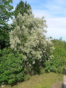 Elaeagnus angustifolia 10 Seeds Russian Olive #Tree