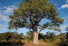 Load image into Gallery viewer, Adansonia digitata Baobab Tree 25 Seeds #Ornamental
