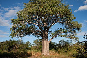 Adansonia digitata Baobab Tree 25 Seeds #Ornamental