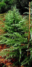 Load image into Gallery viewer, Deodar Cedar Tree, Himalayan Cedar 15 Seeds #Tree