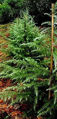 Deodar Cedar Tree, Himalayan Cedar 15 Seeds #Tree