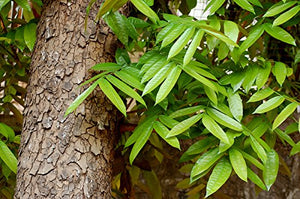Swietenia macrophylla Big Leaf Mahogany 10 Seeds #Tree