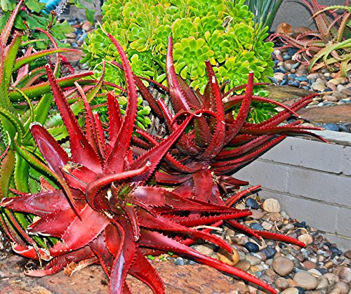 Aloe cameronii Red Aloe Air Purification Plant 25 Seeds #Succulent