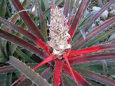Bromelia pinguin Wild Pineapple Plant 25 Seeds #Fruit