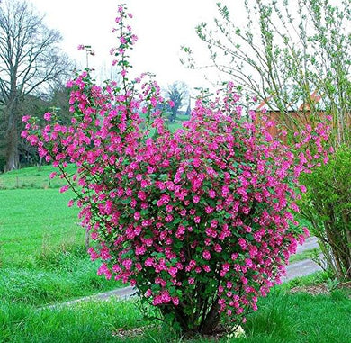 Ribes Sanguineum Red-flowering Currant Flowering Bush 25 Seeds #Ornamental