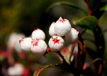 Load image into Gallery viewer, Gaultheria hispida Snow Berry Shrub 100 Seeds  #House Plant