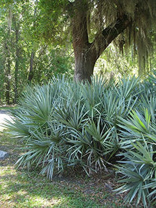 Serenoa repens (Silver) Silver Saw Palmetto Palm 15 Seeds #House Plant