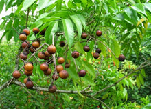 Load image into Gallery viewer, Sapindus saponaria Soapberry Tree 10 Seeds #Tree