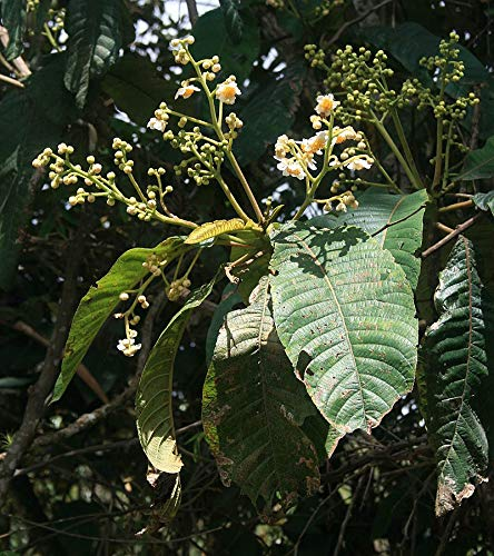 50 Seeds - Small Tree Related to Kiwi - Saurauia prainiana #Fruit