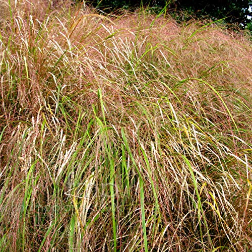 50 Seeds Anemanthele lessoniana - Gossamer Grass #Ornamental