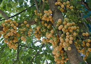 10 Seeds Melientha suavis Fruit Tree #Fruit