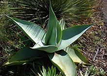 Load image into Gallery viewer, 10 Seeds Agave guiengola Ornamental Plant #Agave