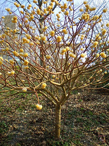 Edgeworthia gardneri Indian Papertree 25 Seeds #Tree