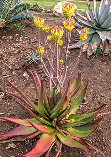10 Seeds Aloe cipolinicola Ornamental Plant #Aloe