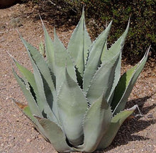 Load image into Gallery viewer, 10 Seeds Agave mckelveyana Ornamental Plant #Agave